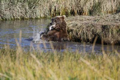 Brown Bears Catching Salmon In Alaska