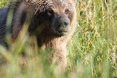See Alaska Brown Bears on a Bear Watching Tour with Catch A Lot Charters Homer AK